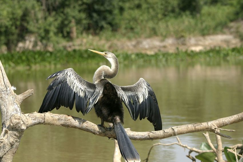 Water Animal Wildlife Waterbird Outdoors Nature One Animal Animals In The Wild No People Beauty In Nature Bird Mato Grosso Do Sul Mato Grosso Brazil Pantanal Snakebird Darter Darter Bird Wings Spread Wings Branch Resting Drying Off Drying Wings In Sun Perspectives On Nature