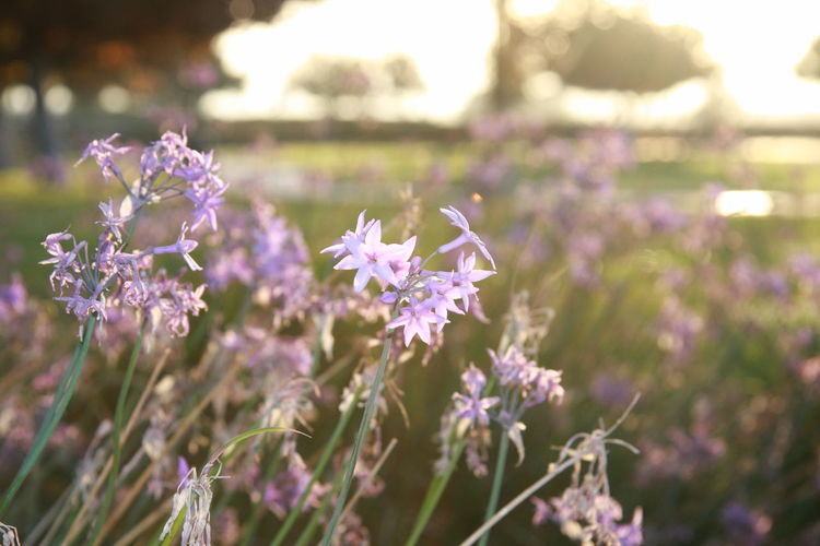 Flower Flowering Plant Plant Freshness Fragility Vulnerability  Beauty In Nature Growth Close-up Purple Focus On Foreground Nature No People Day Selective Focus Flower Head Petal Field Outdoors Plant Stem Lavender Sunkissed Sunrise Misty