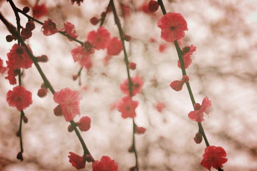 枝垂れ Showcase: February Relaxing Taking Photos Check This Out Pink EyeEm Nature Lover Colors Blossom 梅 Plum Japan Fleshyplants Trees Bokeh Airy Airy Flowers