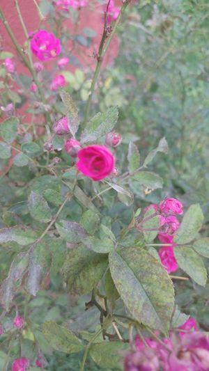 Rosa rosinha. Close-up Beauty In Nature Nature Petal Pink Color Flower Springtime Closeup Photography Close Up.
