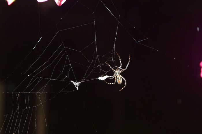 One More Orb Web Spider Night View Rainy Night Southbury,Ct