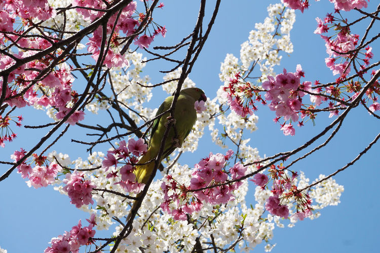 2018 Cherry Blossoms Japan Tokyo Ueno Beauty In Nature Bird Blossom Day Flower Fragility Freshness Growth Nature Outdoors Petal Pink Color Sky Springtime Tree インコ サクラ 上野