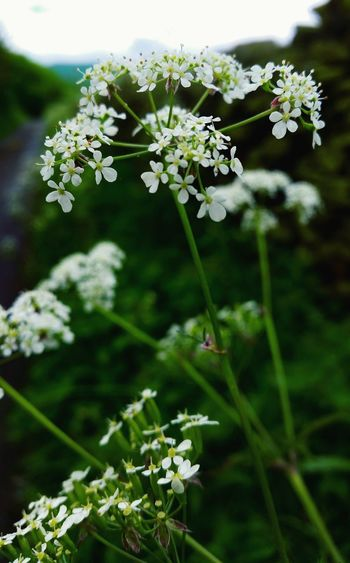 Cowparsley Insect Rainy Day Outdoors No People Focus On Foreground Eyem Nature Wildflowers. Wildflowers In Bloom Countrylanes Drystonewalls Drystonewall Countrylandscapes Drystone Wall Countryside Landscape Botany Cream Colored Green Grass 🌱 Beauty In Nature Fragility Conservation Still Life Photography Rain Botany, Freshness