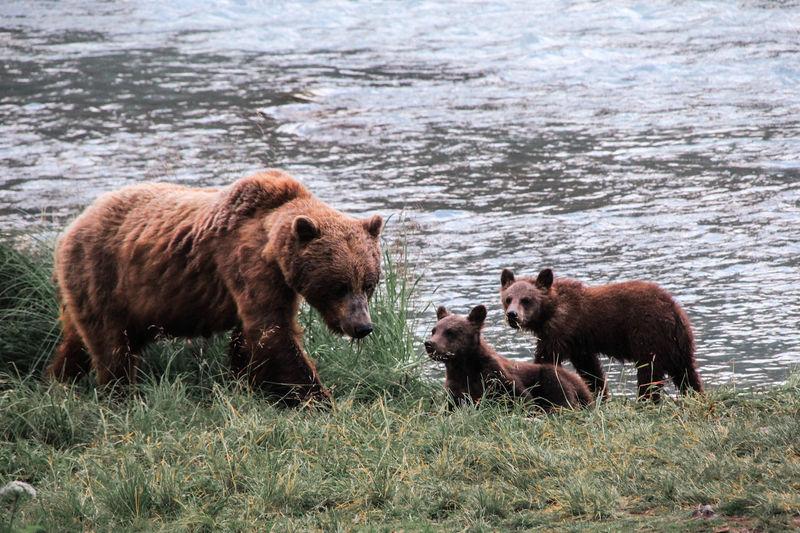 Bear at lakeshore