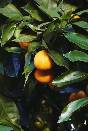 Orange tree. Leaf Fruit Food And Drink Freshness Growth Food No People Healthy Eating Citrus Fruit Day Tree Green Color Outdoors Close-up Nature Beauty In Nature Orange Orange Fruit