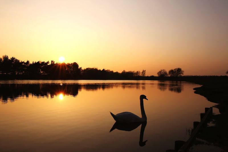 Swan silhouette Sunset Sky Reflection Water Tranquility Scenics - Nature EyeEmNewHere Outdoors Plant Clear Sky No People Animals In The Wild Nature Silhouette Tranquil Scene Orange Color Lake Beauty In Nature Tree Sun Copy Space