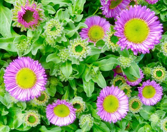 Erigeron Flowers Garden Flower Purple Beauty In Nature Petal Fragility Growth Nature Freshness Flower Head Green Color Plant Botany Leaf Pink Color No People Vibrant Color Springtime Variation Day Close-up