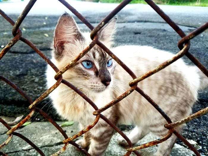 Animal Themes Metal Animals In The Wild One Animal No People Outdoors Nature Day Pets Portrait Domestic Animals Close-up Check This Out Samsung Galaxy S7 Domestic Cat Feline Blue Eyes Metal Fence Feline Photography Feline Friend My Year My View Puerto Rico My View Puerto Rico ❤ TCPM