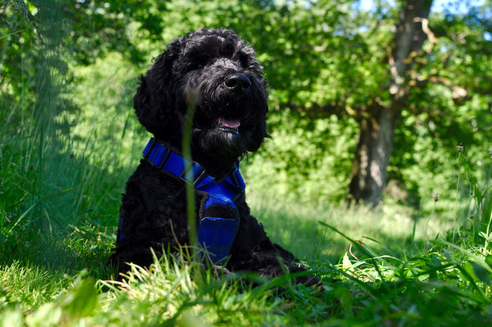 Animal Themes Day Dog Domestic Animals Grass Haustiere Hund Mammal Nature No People One Animal Outdoors Pets Poodle Pudel Tiere