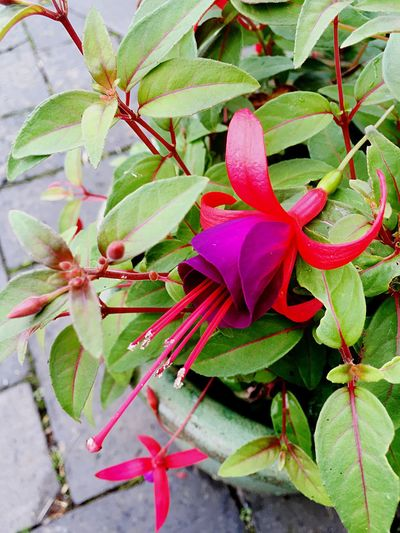 Fuchsia Growth