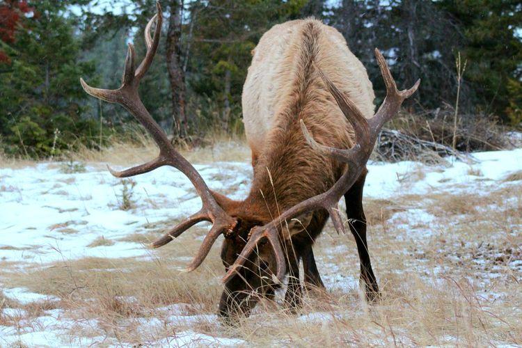 Deer in a snow