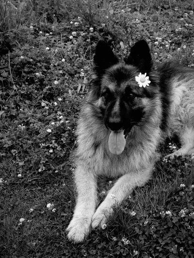 A friends dog. Dog Walking Dog Love Dog German Shepherd Field Flowers British Britain England Gloucester First Eyeem Photo