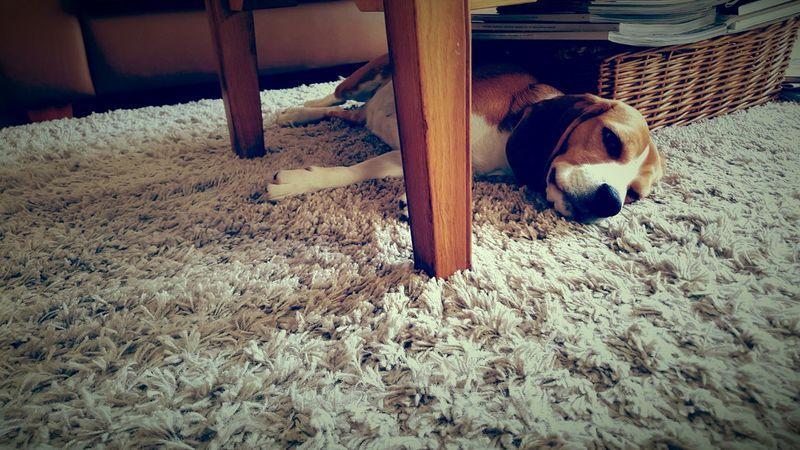 Jillz the Beagle First Eyeem Photo