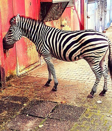 Zebra Hunger Eating Animal Themes Animal Photography Zebra Stripes Zebra♥ Zebra Animal Markings Safari Animals Striped Animal Themes Zoo