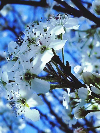 #spring #bradfordpear #BloomingBuds #Nature