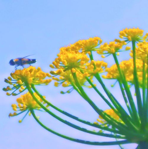 Sky Flowers Bee Buzzing Buzzin' Yellow Flower Yellowporn Nature Photography Nature_collection Nature The Great Outdoors - 2018 EyeEm Awards Flower Yellow Blue Insect Petal Summer Blossom