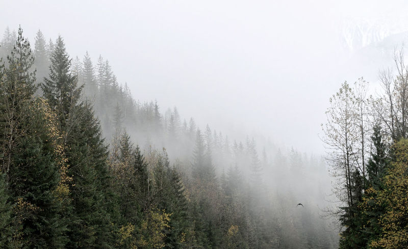 A raven disappears into the thick Selkirk mountain fog, daring us to follow Alpine Autumn B.C. Beauty In Nature Canada Day Fog Forest Forest Photography Growth Mist Mountains Mystical Nature No People Outdoors Raven Rocky Mountains Selkirk Mountains Tree