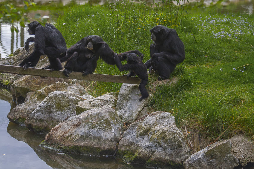 Family Monkeys Nature Animal Animal Themes Black Color Day Grass Mammal Mammals Monkey Nature No People Outdoors Parenting Plaing Stones