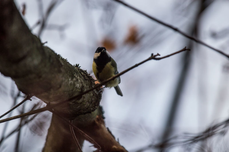 EyeEm Selects One Animal Animal Themes Animals In The Wild Animal Wildlife Day Close-up Outdoors Nature No People Beauty In Nature Perching Tree Branch Chickadee Great Titmouse EyeEm Nature Lover Bird Birds Animals Autumn Tranquil Scene Low Angle View Garden Photography Looking At Camera