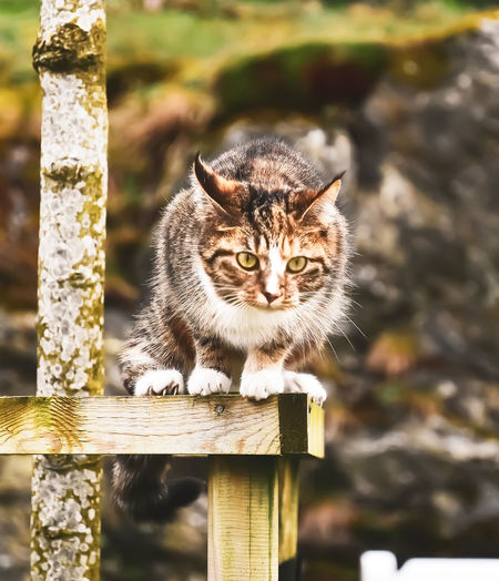 Mammal One Animal Feline Domestic Animals Cat Pets Focus On Foreground Domestic Cat Domestic Vertebrate Wood - Material No People Looking At Camera Portrait Day Close-up Nature Whisker