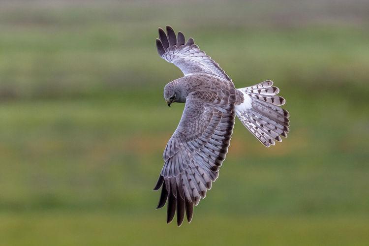 Male northern harrier hawk in flight