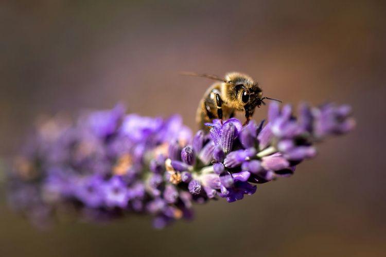 Lavandin Enjoying Life Abeille Abeille Fleurs Fleurs Lavande En Fleur Été Bee 🐝 Provence First Eyeem Photo