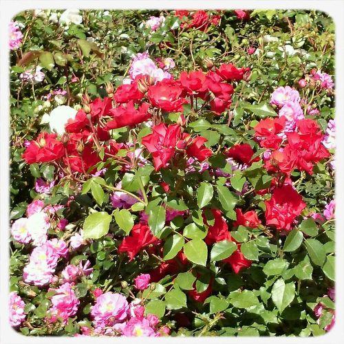 Flowers хочу клумбу с цветами буду за ними ухаживать на следующий год обязательно посажу