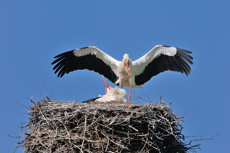 Low angle view of white storks on nest against blue sky