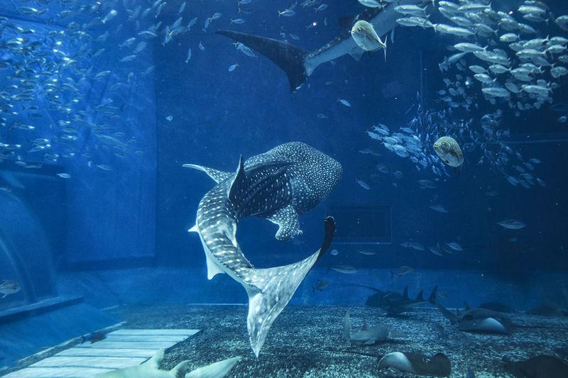 Shark whale churaumi aquarium okinawa
