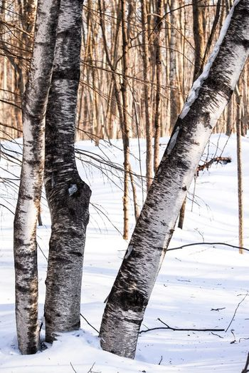 Walking in the woods Winter Cold Temperature Snow Trunk Tree Trunk Tree Plant Land Nature Forest No People Beauty In Nature Tranquility Day Covering Bare Tree Frozen Outdoors Focus On Foreground