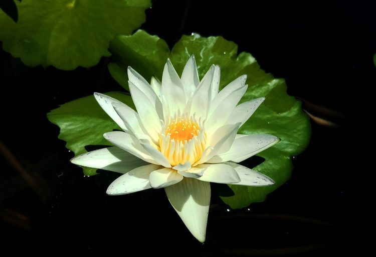 Flower Flower Head Water Close-up Water Lily Beauty In Nature Flowering Plant Freshness No People White Color Black Background Lotus Water Lily Purity