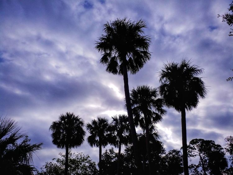 Palms And Sky Tree Cloud - Sky Sky Silhouette Low Angle View Nature Palm Tree Tree Trunk Tranquility Outdoors Day Beauty In Nature No People Perspectives On Nature