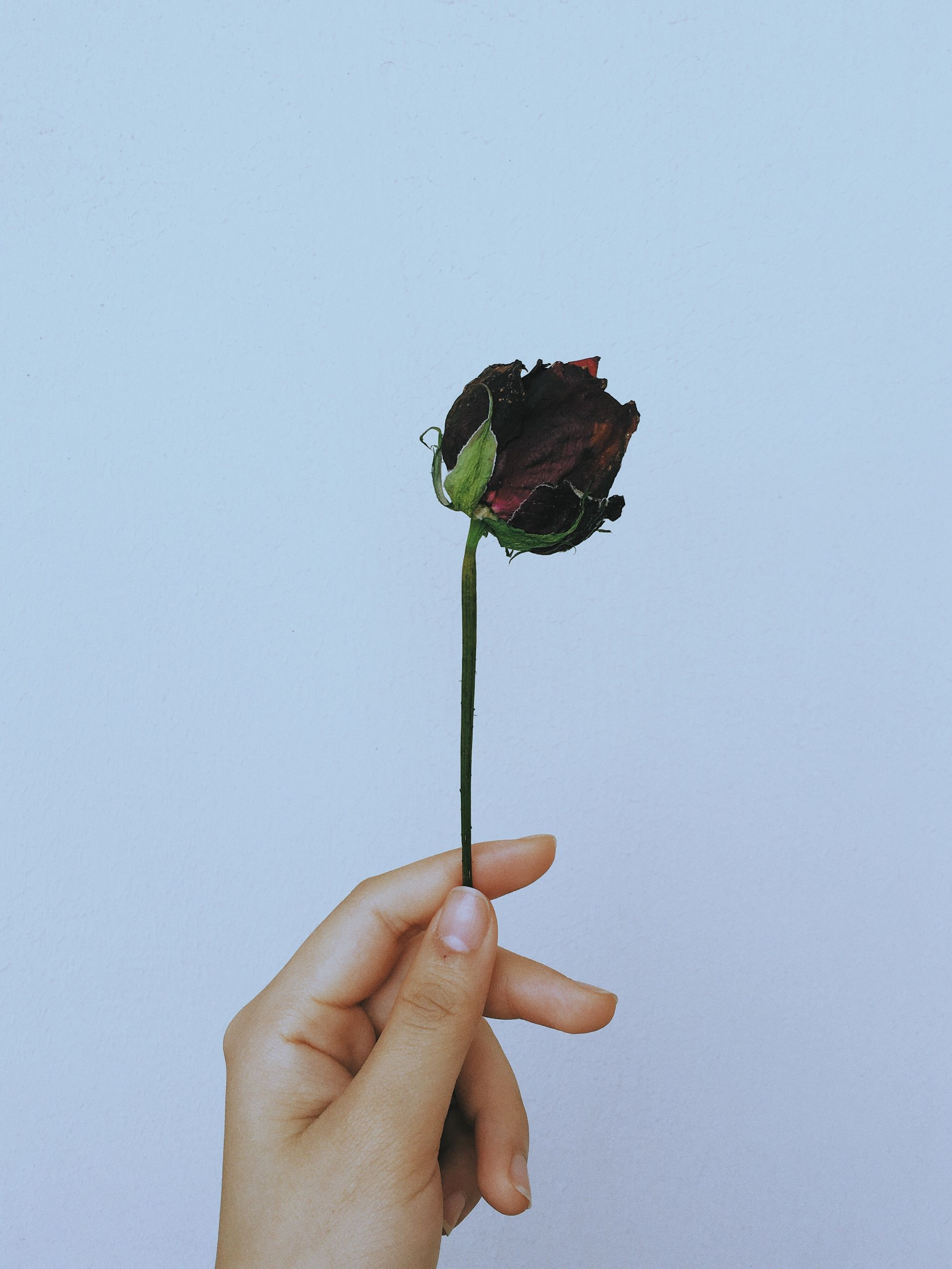 person, holding, cropped, part of, human finger, studio shot, unrecognizable person, white background, flower, lifestyles, close-up, leisure activity, stem, fragility, cut out, nature, outdoors, beauty in nature, focus on foreground