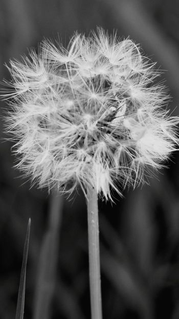 Dandelion Flower Softness EyeEmNewHere Nature Plant Beauty In Nature Outdoors EyeEm Selects Nikon Photography Snapshot NikonD5500 Nikon Photographer First Eyeem Photo Outdoors Photograpghy  Outdoor Pictures Front View Black And White Black Background No People Summer Outdoor Life Close-up Outdoors Photograpghy  Hello World EyeEmBestPics