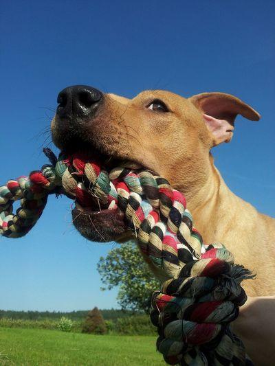 Pitbull Apbt American Pitbull Terrier Dog Animals Animal