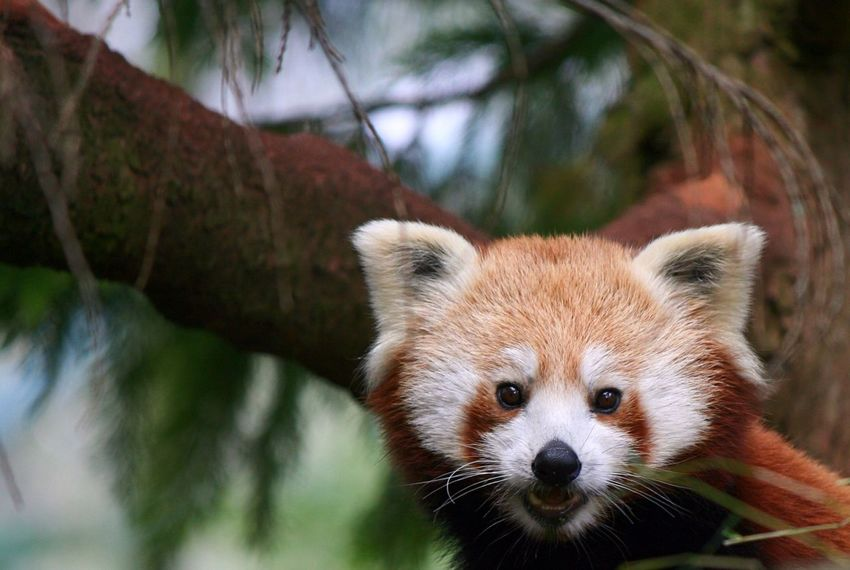 Red Panda Red Panda Wildlife Nature Panda