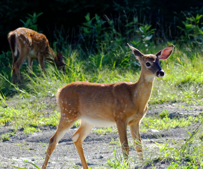 Female deer on the lookout by the forest Animal Animal Themes Animal Wildlife Animals In The Wild Brown Day Domestic Animals Fawn Field Group Of Animals Herbivorous Land Mammal Nature No People Outdoors Plant Side View Standing Two Animals Vertebrate Young Animal