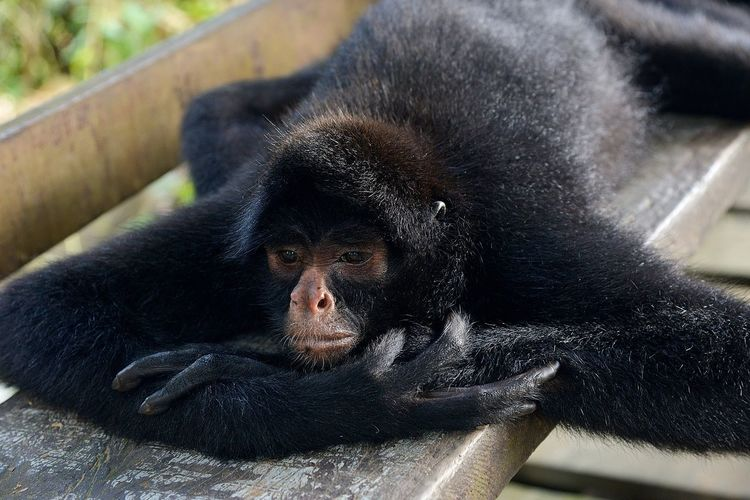 Close-Up Of Monkey Lying On Wooden Bench