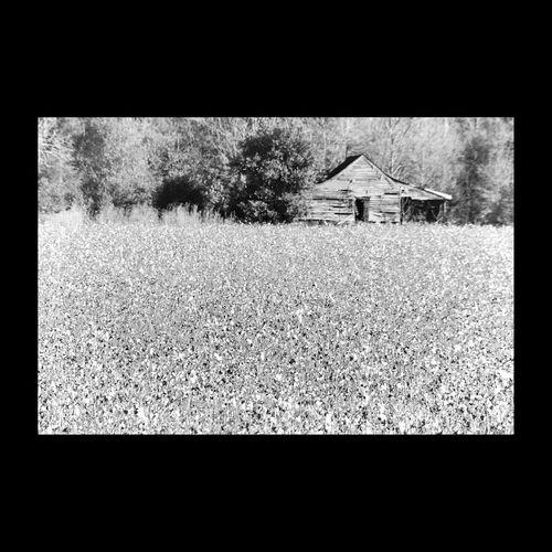 En Caroline du Sud, champ de coton. Cotton Cotton Field Landscape_Collection Blackandwhite EyeEm Best Shots - Black + White Black And White South Carolina Noir Et Blanc EyeEmBestPics EyeEm Best Shots