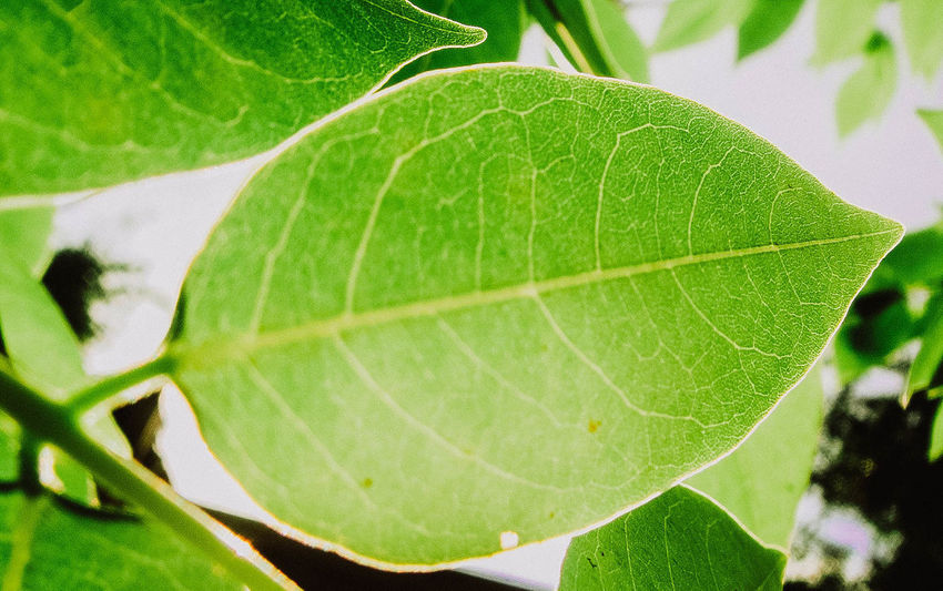Leaves🌿 Beauty In Nature Close-up Day Fragility Freshness Green Color Growth Leaf Leaves Nature No People Outdoors Plant