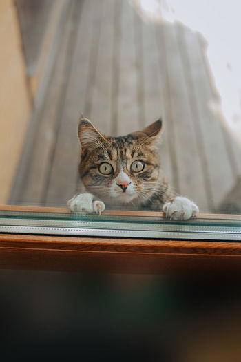 Kurilian bobtail cat stands on hind legs and tries to open glass door with its front paws