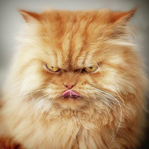 кот злойкот домашнееживотное эмоциональноеживотное