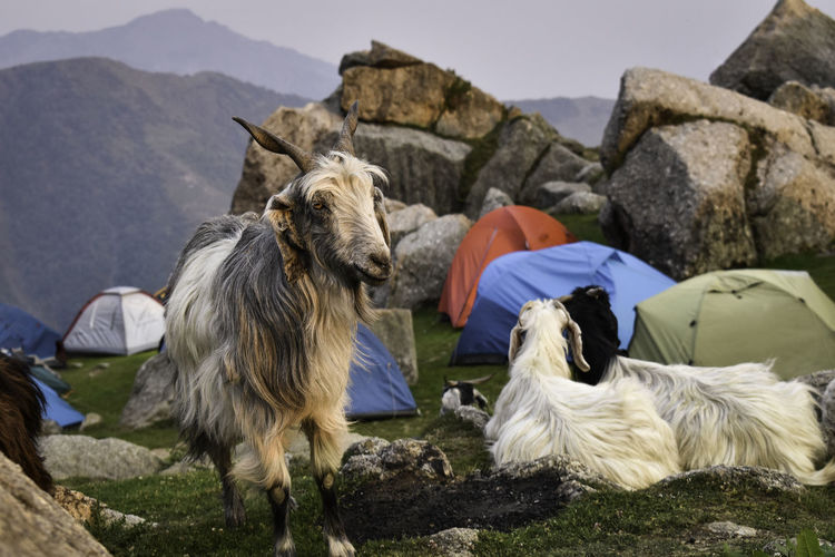 Photograph captured at Triund Base Camp, Uttarakhand, India. Mammal Animal Themes Animal Pets Domestic Domestic Animals Group Of Animals Vertebrate Rock Solid Rock - Object Livestock Mountain Two Animals Nature Day Animal Wildlife No People Outdoors Herbivorous EyeEmNewHere India