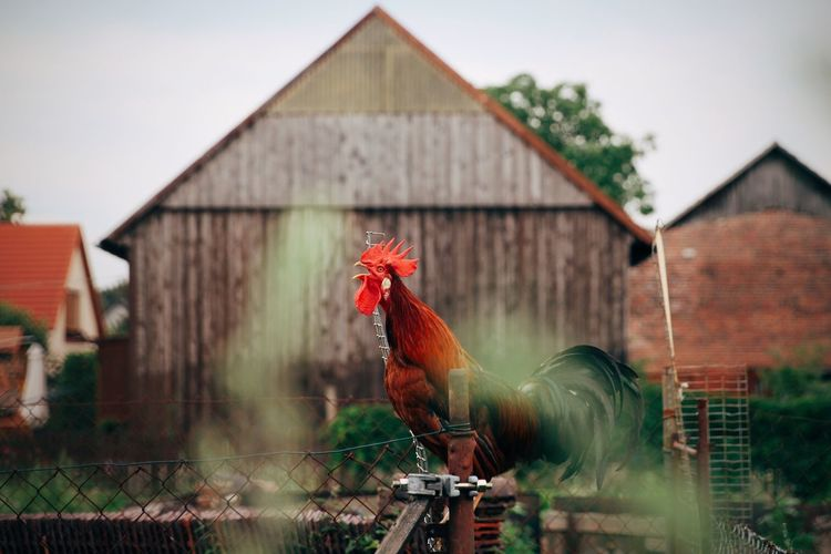 View of a rooster against building