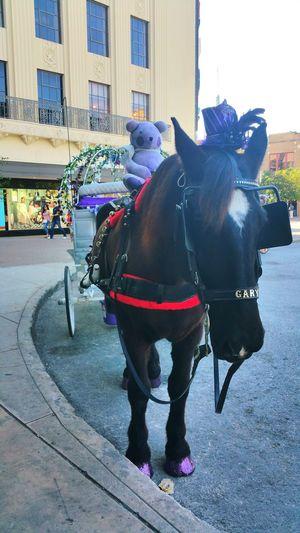 Gary 🐎 Horse Working Animal Horse Cart Purple Transportation Animal Photography San Antonio, Texas Alamo City