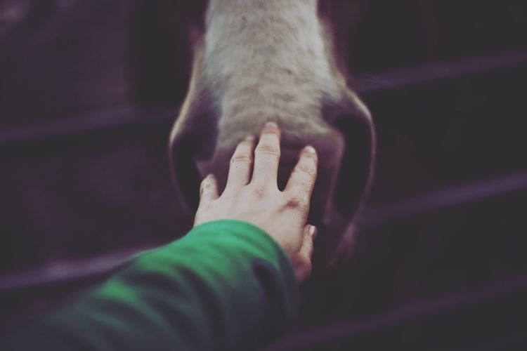 Cropped hand touching horse snout at farm
