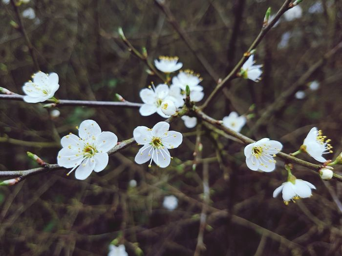 Pretty white blossom flowers. Nature Growth Beauty In Nature Flower Twig Tree Blossom Springtime Flower Head Branch Fragility No People Petal Close-up Outdoors Plant Freshness Day Samsung Galaxy S7 Edge EyeEmNewHere Daytime Photography Garden Nature Beauty In Nature SmallFlowers