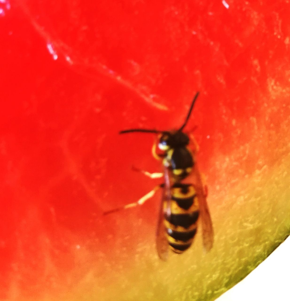 one animal, insect, animals in the wild, animal themes, red, close-up, animal wildlife, no people, outdoors, nature, day