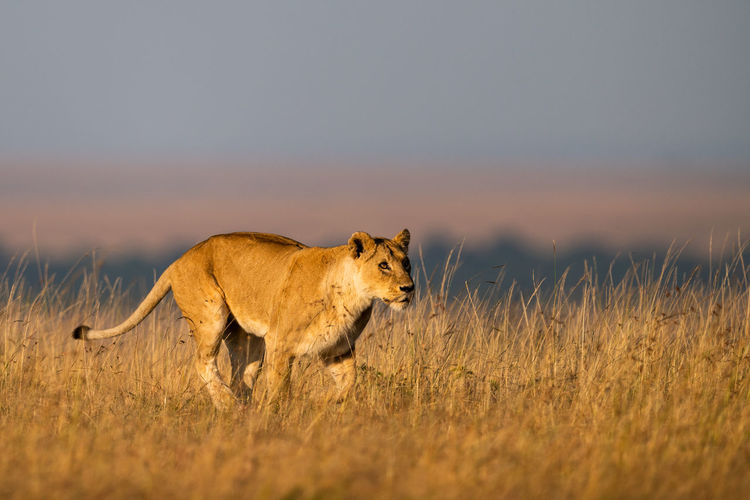 Lioness running on grassy field against clear sky