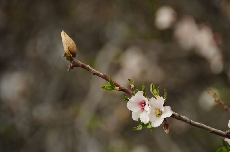 Almond and almond flowers on a twig Almond Almond Flowers Almond Tree Almond Twig Botany Close-up Flower Focus On Foreground Nature No People Plant Twig